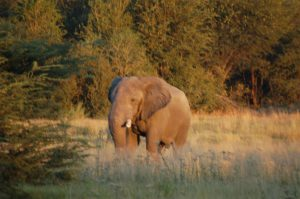 Near death experiences - Okavango Delta (injured elephant)