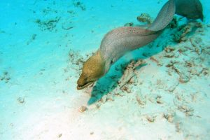 Near death experiences - Similan Islands, Thailand (Emma the Giant Mooray Eel)