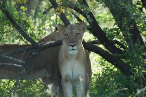 Near death experiences - Kruger National Park (Lioness eyeing me)